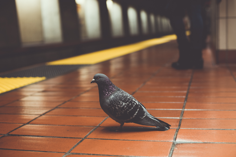 pigeon waiting for BART train back to the eastbay